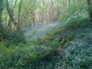 Bluebell wood with wild garlic Bristol - Alison Crowther